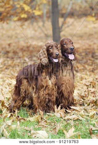 Beautiful Irish Setter Pair