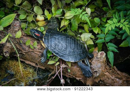 Red Eared Terrapin