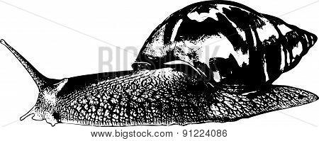 Snail Achatina