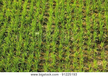 Growing Rice In Thailand