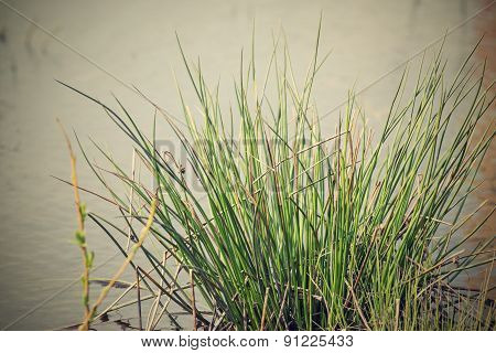 Bunch Of Marsh Grass On A Hummock In Water
