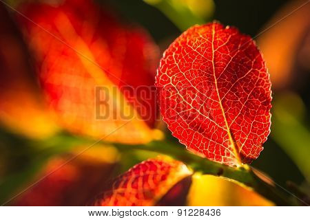 Colorfully Blueberry Leaves