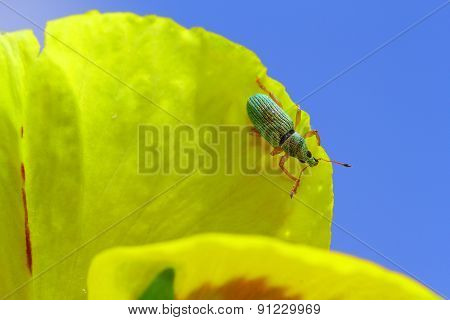 Green Immigrant Weevil