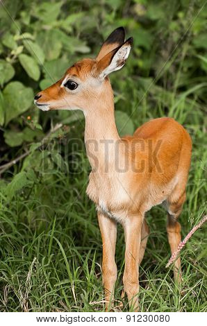 Young Impala Kid In Lush Bush