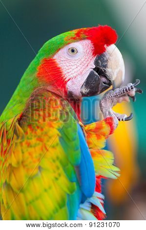 Ara parrot close-up shot
