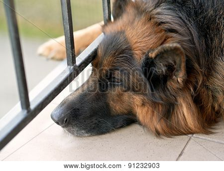 Sad german shepherd dog