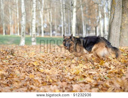 German shepherd dog composition