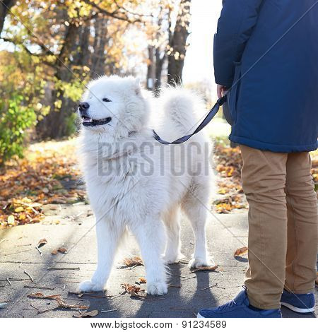 Walking Arctic Spitz Samoyed dog outdoors