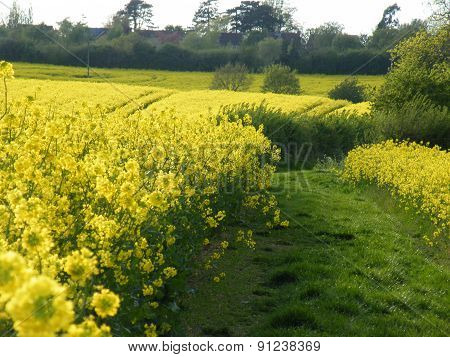 Rapeseed plants in fields. brassica napus.