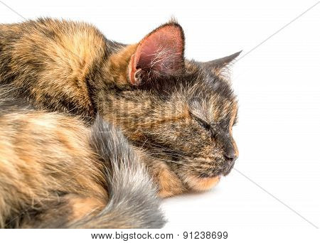 Cat Lying On A White Background