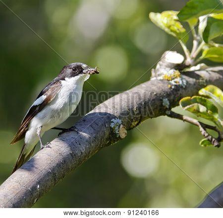 A male flycatcher sits on a twig.