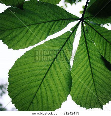 Horse-chestnut Or Conker Tree (aesculus Hippocastanum) Leaf.