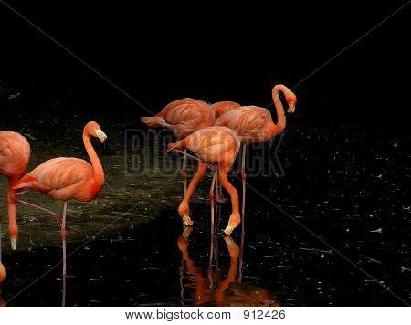 Flamingo Birds Standing In The Water