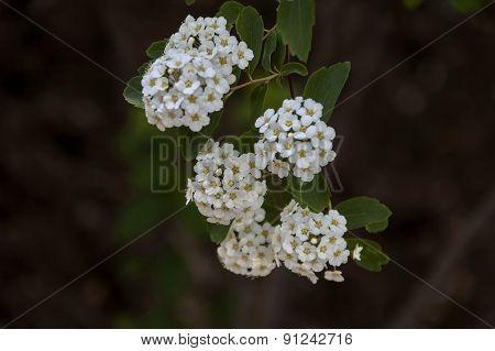 Five petal white flower shrub in spring