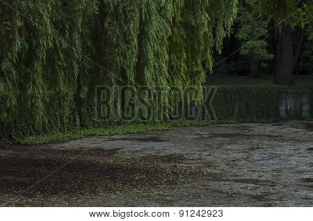 Weeping willow in garden