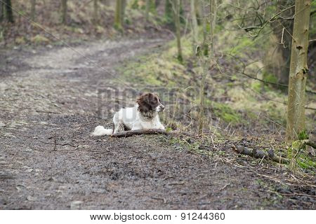 An English Springer Spaniel Laying Down On A Walk