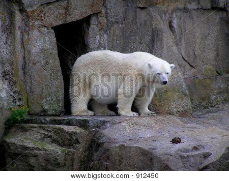 Polar Bear Just Sitting On Some Rocks