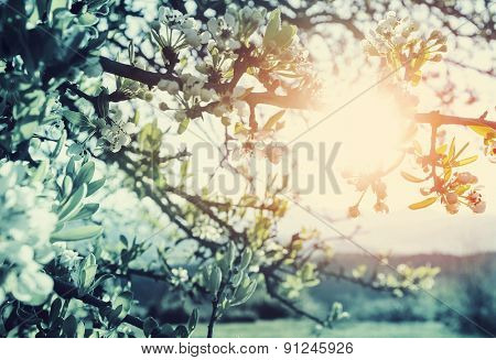 Flowers of the cherry blossoms in a spring garden