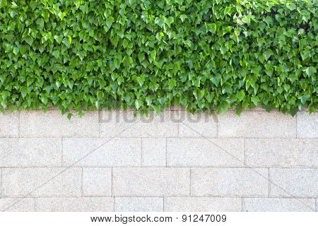 Outer wall of house covered with beautiful green leaves plants