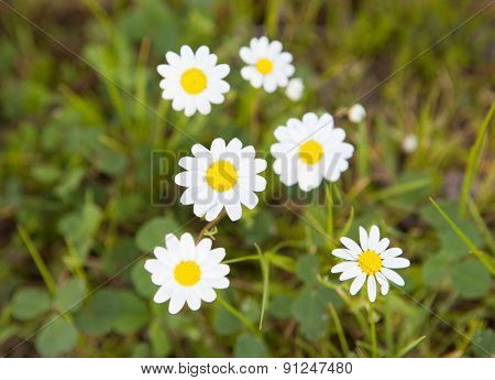 Beautiful daisies on green grass. Spring came