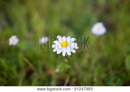 Beautiful daisies white and yellow on a green field