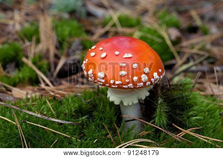 Red Amanita Muscaria Mushroom In Moss