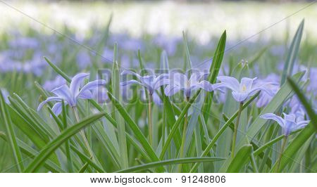 Group Of Blue Scilla Flowers