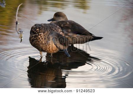 Female Chestnut Teal Ducks