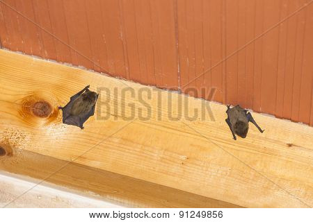Bats Hanging On Wooden Beam