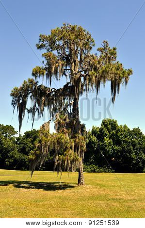Swamp cypress with spanish moss growing on it