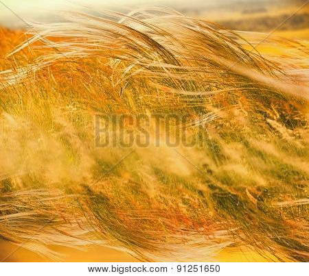 Silky grass - Fluffy grass