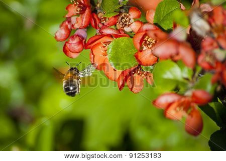 blooming quince and a bumblebee in flight
