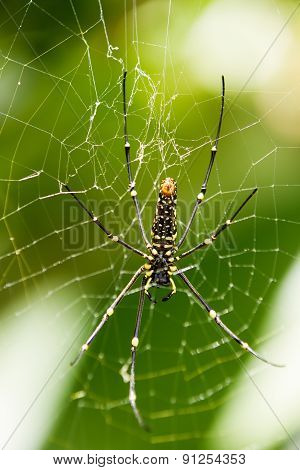 The Northern Golden Orb Weaver Or Giant Golden Orb Weaver (nephila Pilipes), Ventral Side.