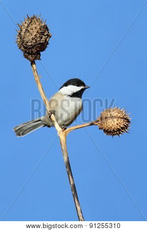 Chickadee On A Branch With Blue