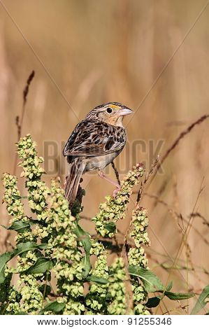 Grasshopper Sparrow (ammodramus Savannarum) On A Perch