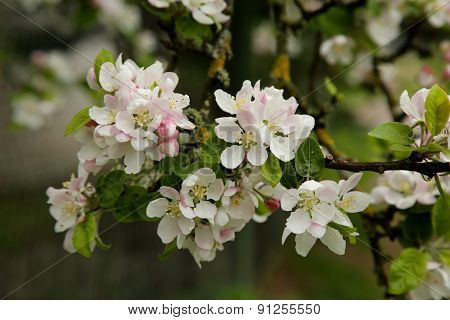Beautiful Blooming Apple Tree Branch