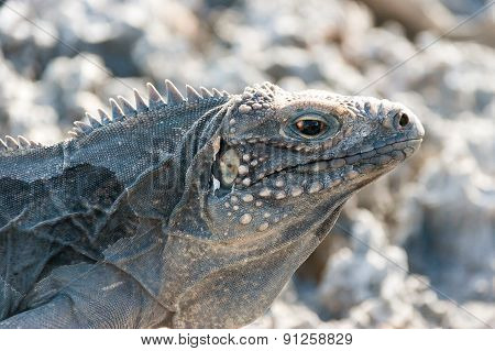 Cuban Rock Iguana (cyclura Nubile).
