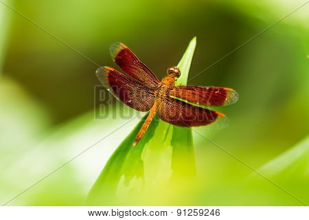 Dragonfly On Leaf, Macro Insect Life In The Tropical Rain Forest. Kuala-lumpur, Malaysia.