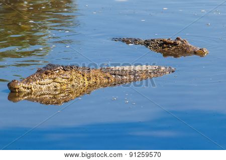 Floating Pair Of Cuban Crocodiles (crocodylus Rhombifer) In Pond.