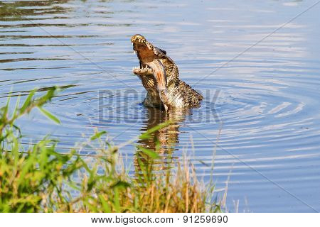 Cuban Crocodile (crocodylus Rhombifer) Eats Fish.