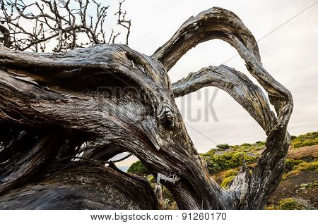 Trunk Texture Gnarled Juniper Tree