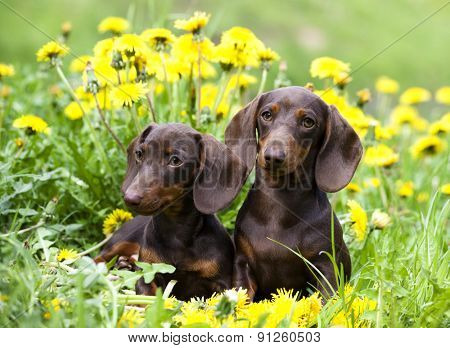 purebred dachshund and dandelions