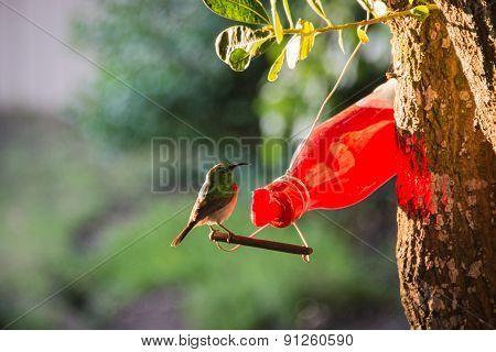 Sunbird On Feeder