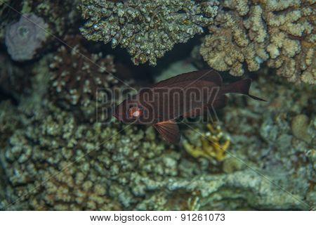 Crescent-tail Bigeye - Priacanthus hamrur