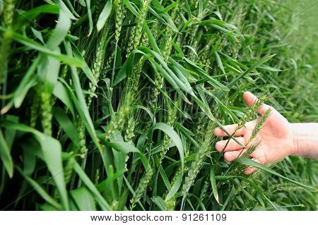 Hand In A Green Wheat Field