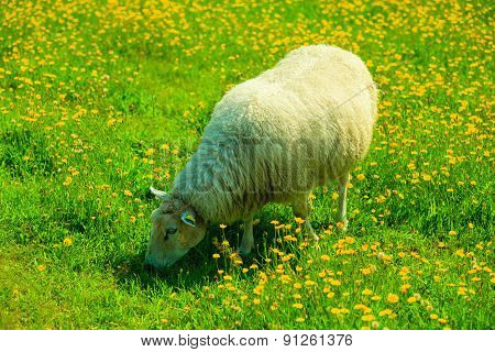 Sheep On Beautiful Mountain Meadow In Norway