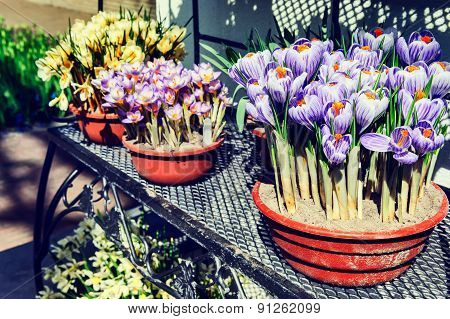 Flower Pots With Muticolor Crocuses