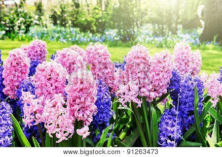 Beautiful Spring Hyacinths