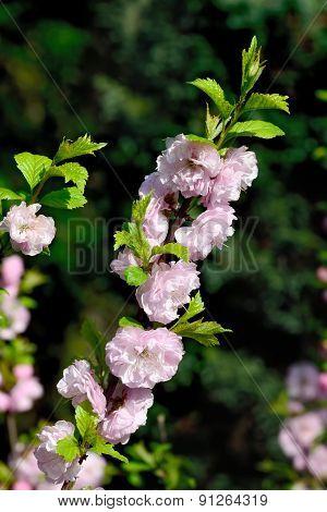Almond Blossoms (prunus Triloba Plena)