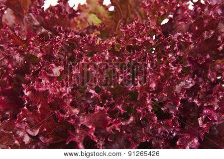 Closeup of an oak leaf lettuce
